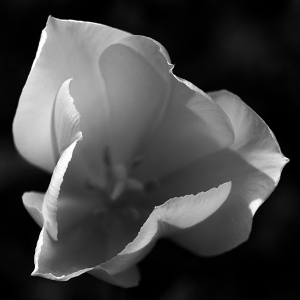 0.0 mpen fl 14.0523 w tulip_3506 2x2