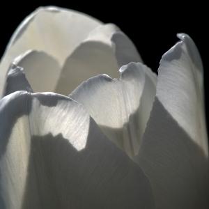 001 mpen fl 14.0524 tulip w_4112 2